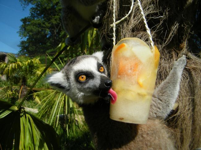 Animals treated to lollies at Cotswold Wildlife Park in summer heat. pictures by Debbie Ryan