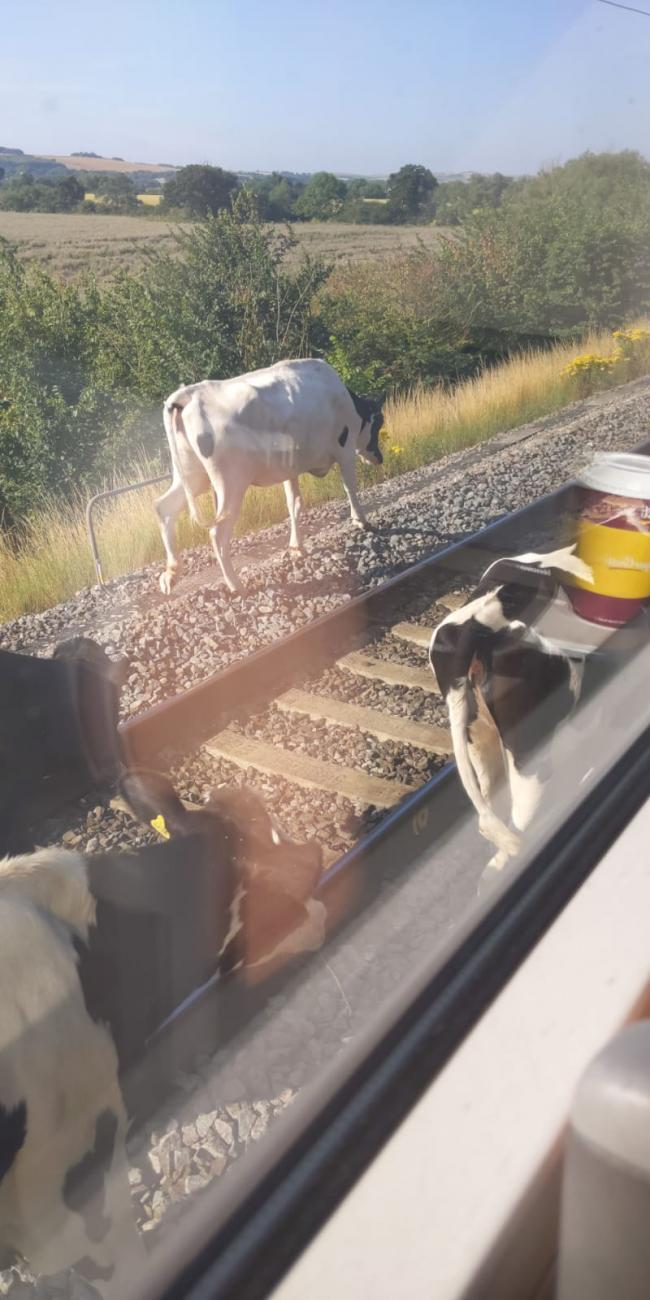 The offending animals on the railway line. Pictured by Twitter user JP @JamesPo09609823
