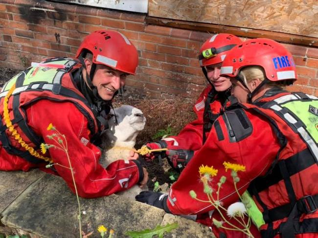 'Dolly' the sheep rescued after getting trapped under decking