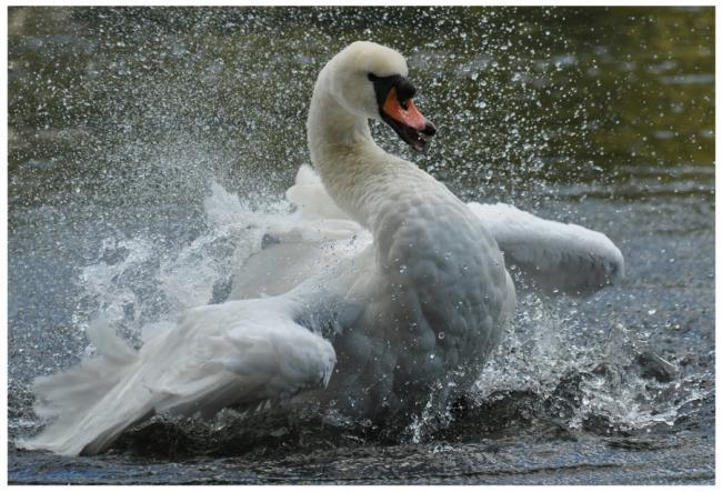 Stock picture of a swan