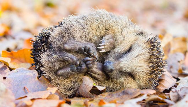Undated Handout Photo of a hedgehog sleeping on a pile of leaves. See PA Feature GARDENING Hibernate. Picture credit should read: iStock/PA. WARNING: This picture must only be used to accompany PA Feature GARDENING Hibernate.