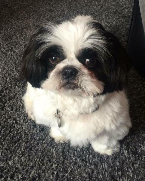 *Not the dog* A file picture of a Shih Tzu for reference