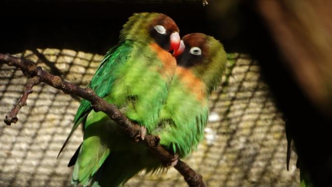 A pair of the new Black-Cheeked Lovebirds at Cotswold Wildlife Park