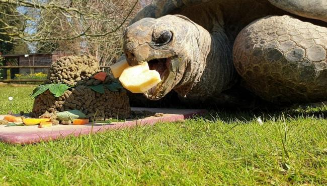 George the giant tortoise at Cotswold Wildlife Park devours a special birthday cake to mark the attraction's 50th anniversary - at the same time as it was completely closed to visitors because of the coronavirus pandemic. Pictures: Roxy Newton