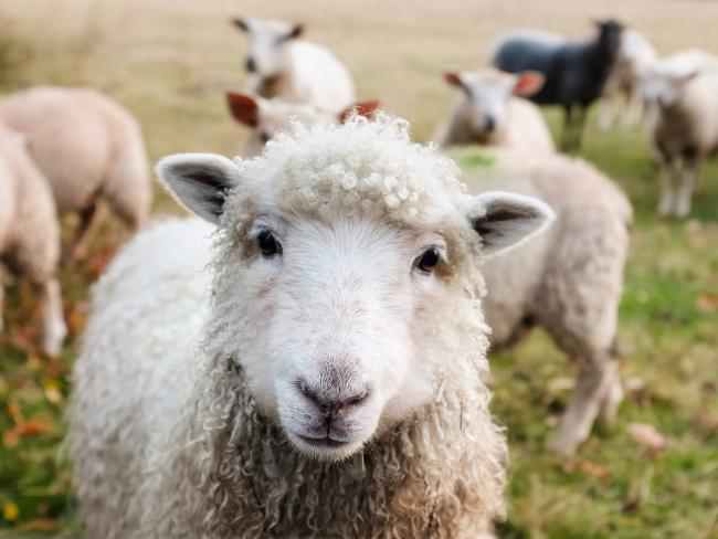 Stock image of sheep
