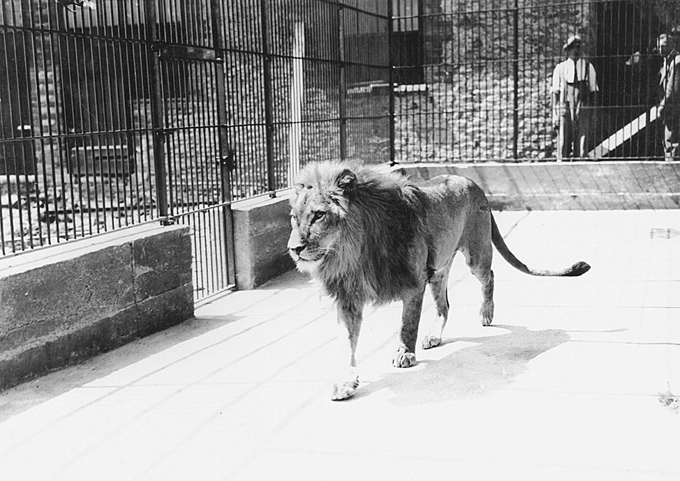 Hanno the lion at Oxford Zoo