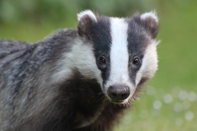 Badgers are set to be culled in Oxfordshire. Picture: Pixabay