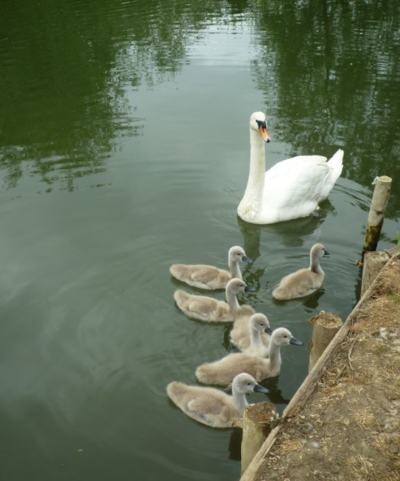 Swans and cygnets seen on the walk