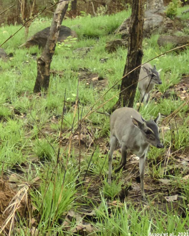 Walter's duiker has been pictured alive in the wild for the first time. Picture: Assou et al., 2021