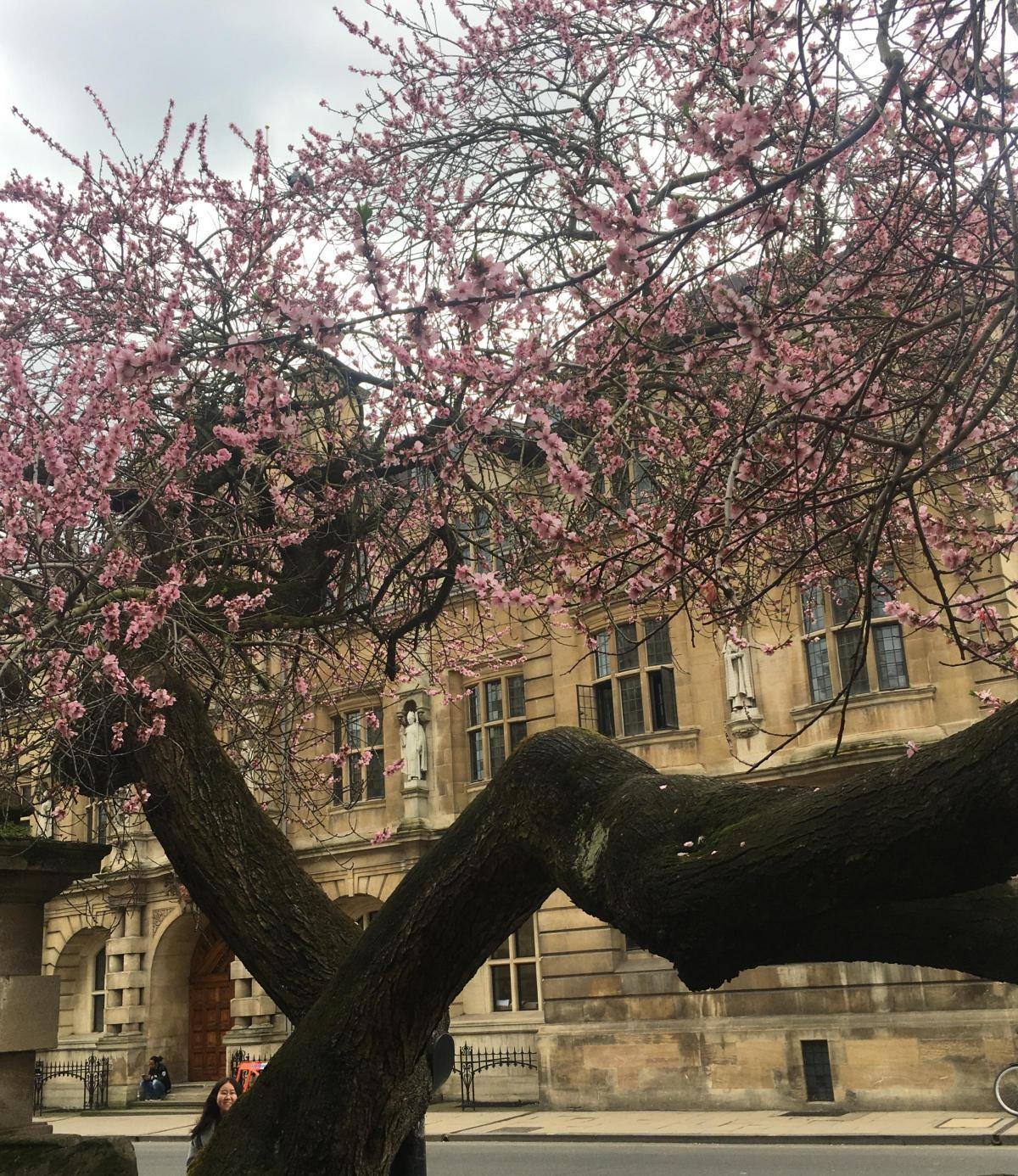 The almond trees blossom was a popular sight in the High Street