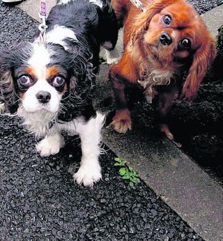 Spaniel club bites back over 'in-breeding' accusation