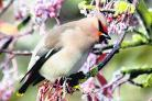 Waxwing     Picture: Barry Hudson