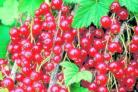 A mature redcurrant bush can produce up to 10lb of fruit     Picture: Val Bourne