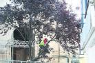 The cherry tree outside Abingdon's Old County Hall being felled