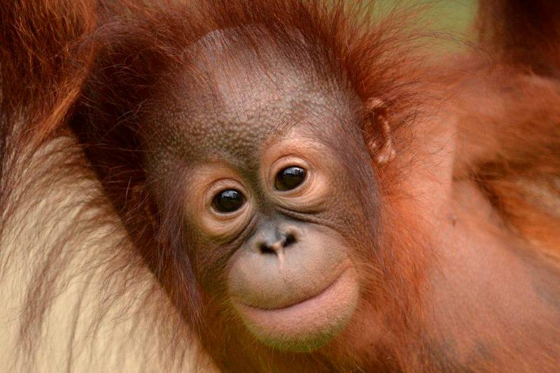 Former student praised for his work in saving rare orangutans