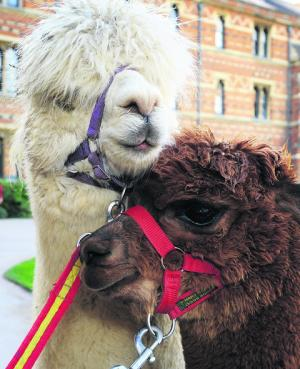 Alpacas let their hair down at college