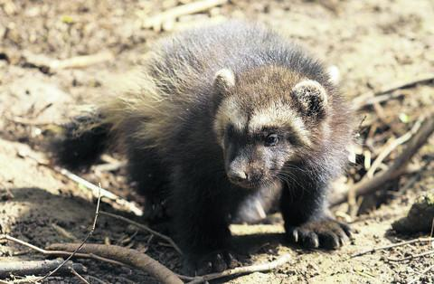 One of the wolverine cubs