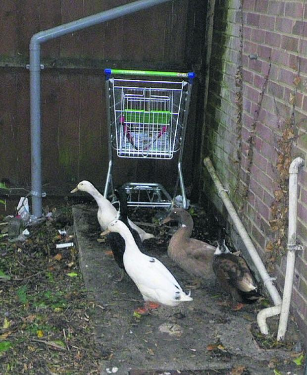 Pet ducks are dumped
