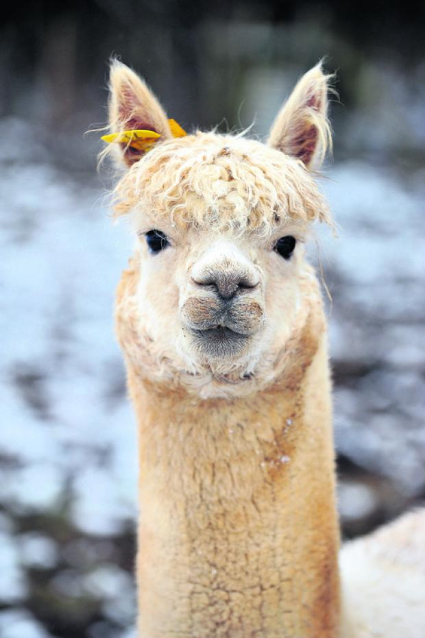 Oxford Mail: Rocky the Alpaca