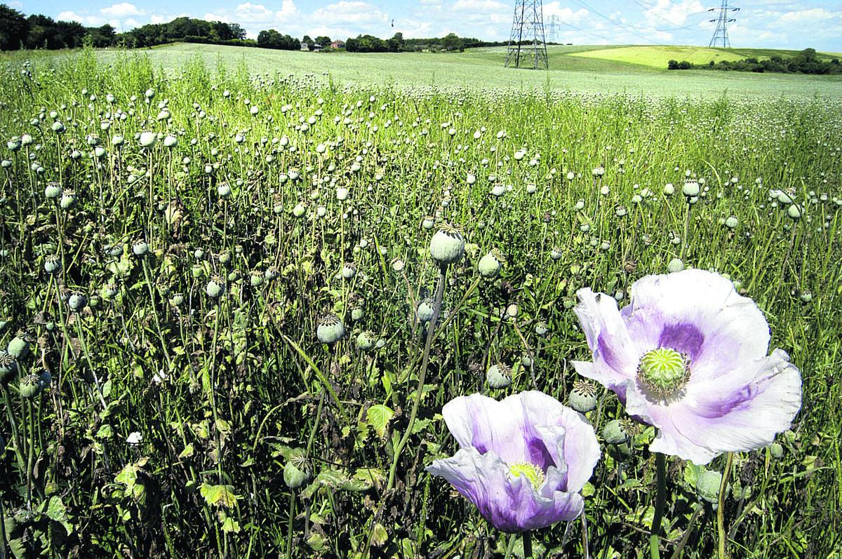 Farmers Go Into Legal Drug Business With Poppy Crops Oxford Mail