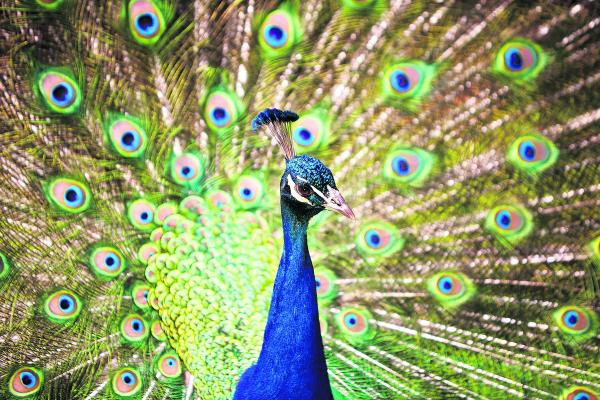 A peacock displays his beautiful plumage at Harcourt