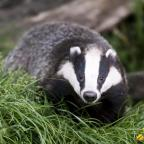 Oxford Mail: Badger (11754077)