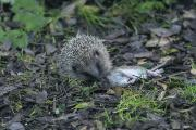 Photographer George Reszeter believes this is the only snap of a hedgehog eating a rat in existence
