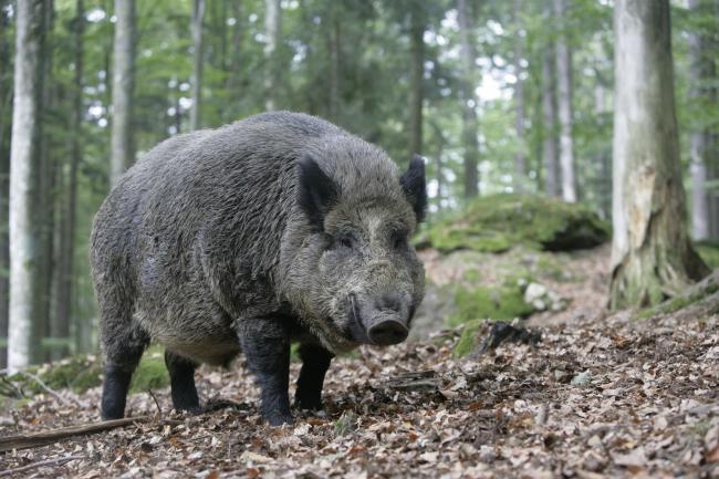 Oink: Warning to dog walkers as wild boar seen in