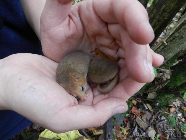 Got one: Pete Newbold of Oxfordshire Mammal Group holding a sleepy dormouse