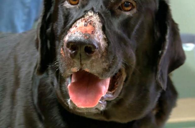 Oxford Mail: ROT: Cutaneous and Renal Glomerular Vasculopathy, known as 'Alabama rot', begins with the appearance of ulcers on the dog's skin