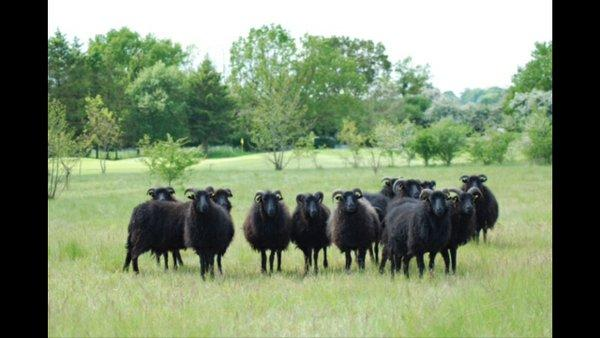 The sheep are believed to be in the Kirtlington and Bletchingdon area