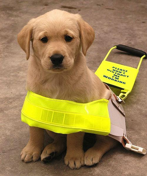 Guide dogs for the blind on twitter: