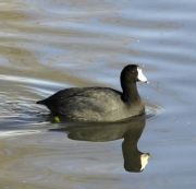 A nesting Coot has held up controversial work at Thrupp Lake