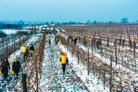 Growers rush to collect frozen grapes before the sun goes up