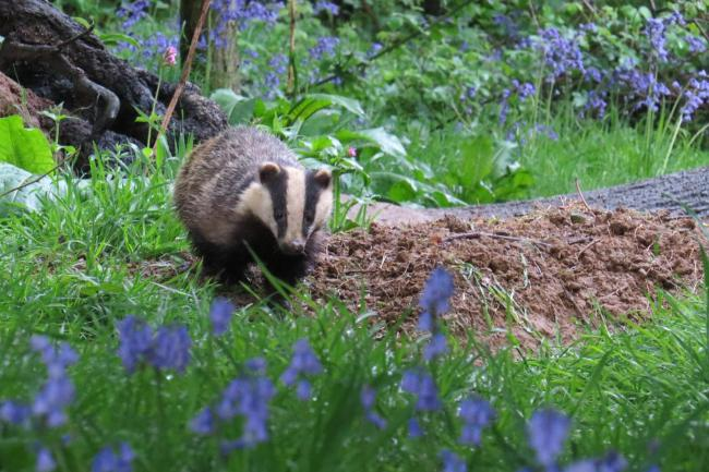 Badgers in Oxford photographed by Alex White..