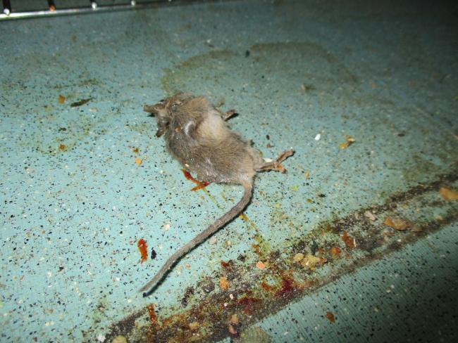 Kitchen shut down after dead mouse and droppings found at Positive ...