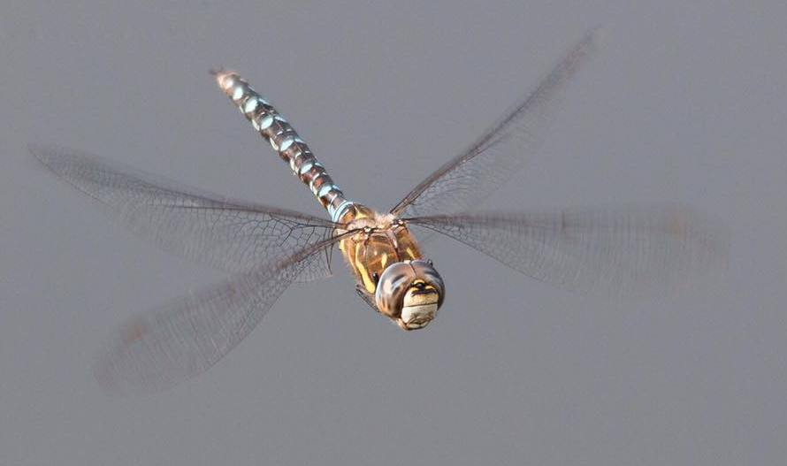 A dragonfly caught in flight by Kim Benson