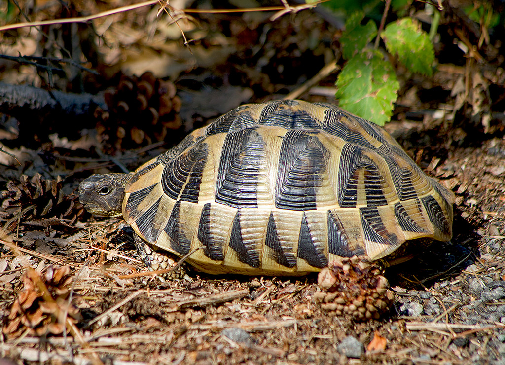 A stock picture of a Hermann's tortoise