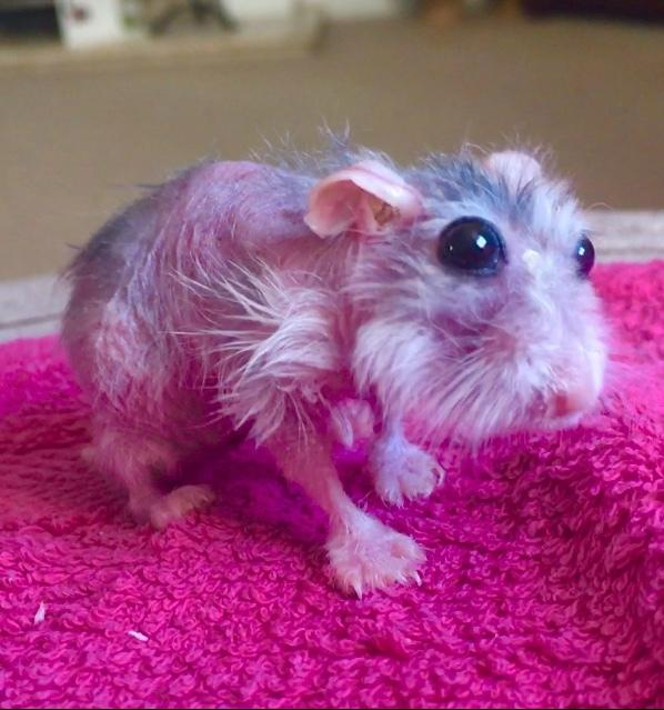 Urgent Advice For Pet Owners As Stressed Hamster Dies After Losing All Its Fur