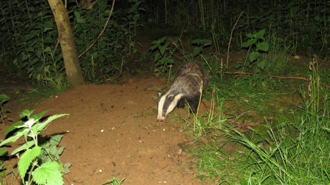 Badger photographed by young wildlife photographer Alex White.