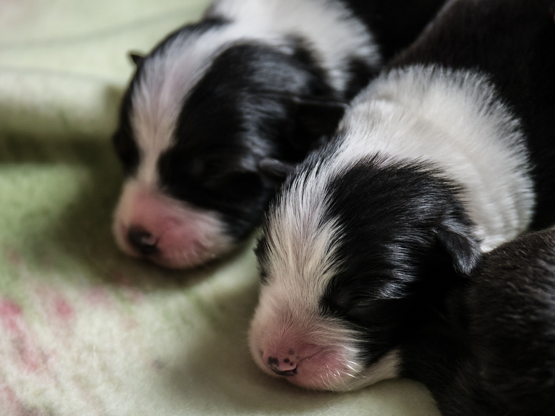 Stock picture of border collie puppies - for illustrative purposes only
