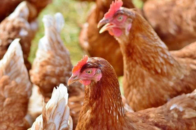 Applicant chickens out of enormous farm plan