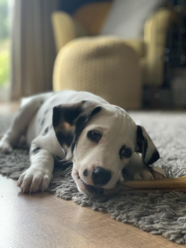 This is Podrick, he's 8 weeks old, Dalmatian and lives in Aston