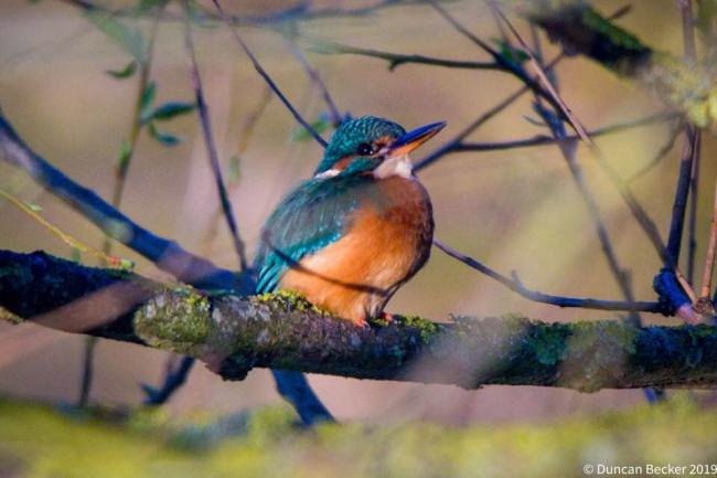 Camera Club: Kingfisher perches at Port Meadow