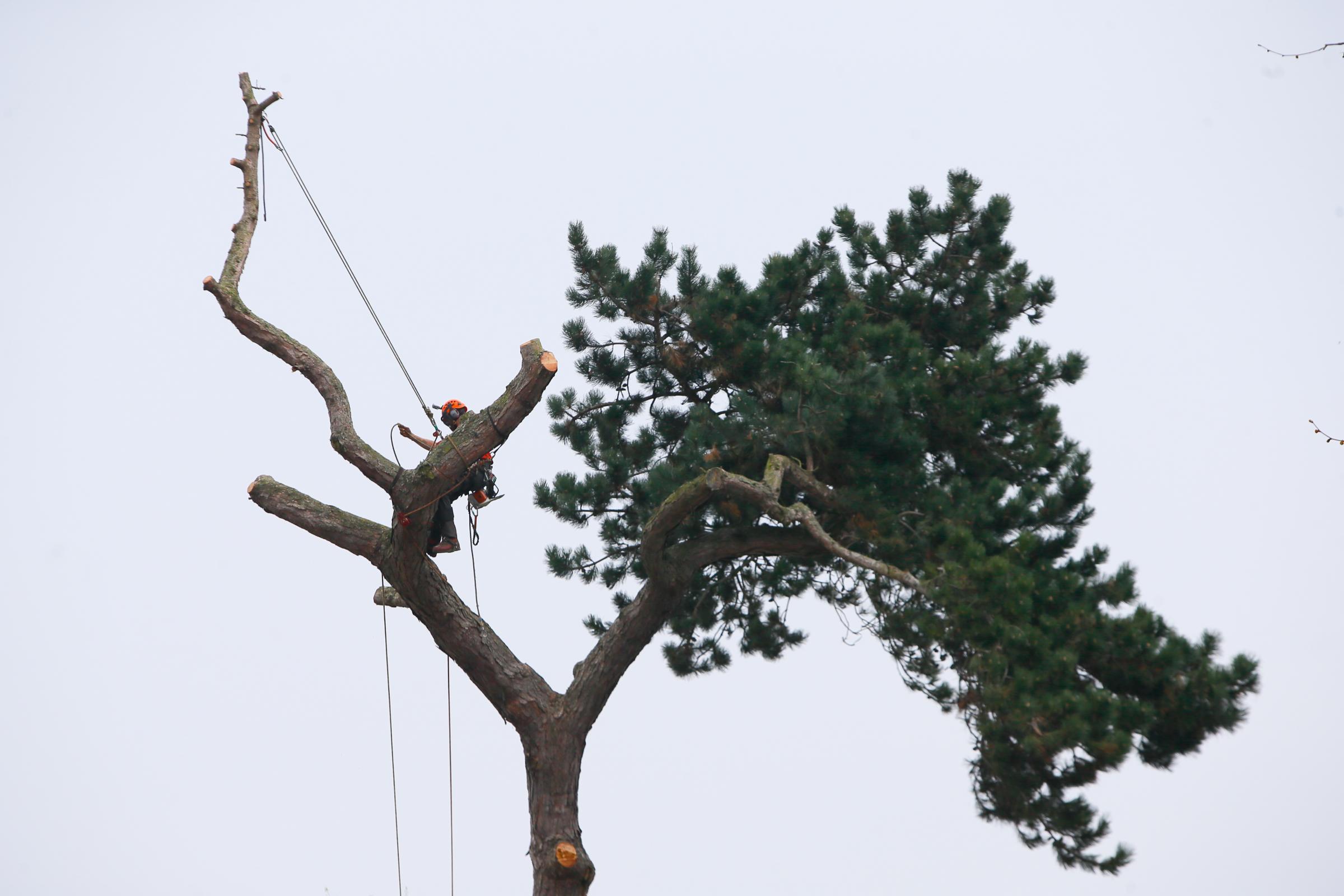Pine trees on Saint Cross Street, Oxford, are felled