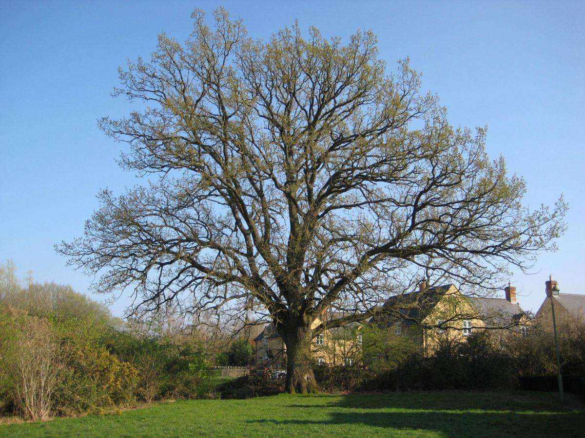 Last chance to save Witney's 300-year-old oak tree is today